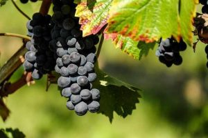 Black grapes carbs, weight loss and more